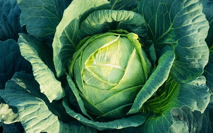 Growing Cabbage In a Container: Here's How To Do It (Guide)