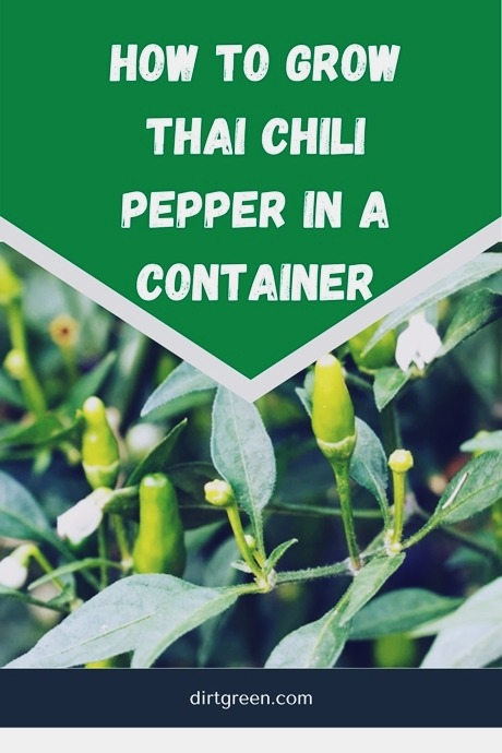 How To Grow Hot Thai Chili Pepper in a Container