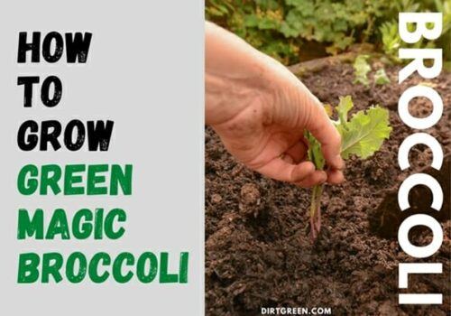 Steps On How To Grow Green Magic Broccoli In Your Garden