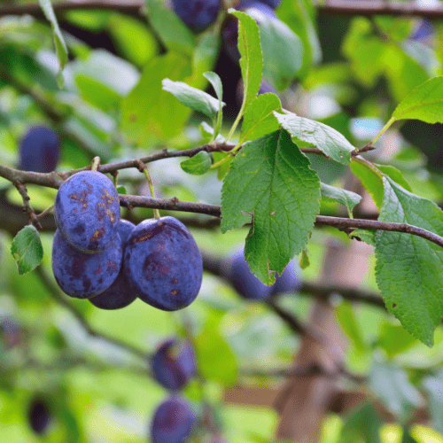Plum Trees is one of the 10 fruit trees that take the longest to grow