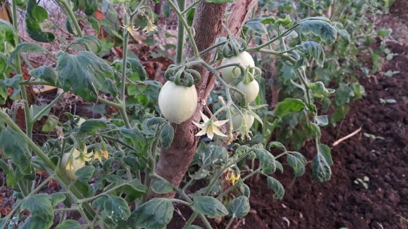 Why Do Garden-Grown Tomatoes Taste Better Than Store-Bought Tomatoes?
