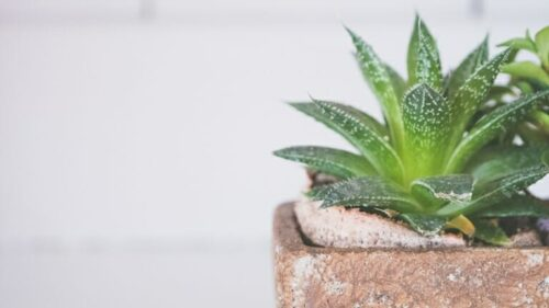 How Frequently Should You Water Succulent Plants?