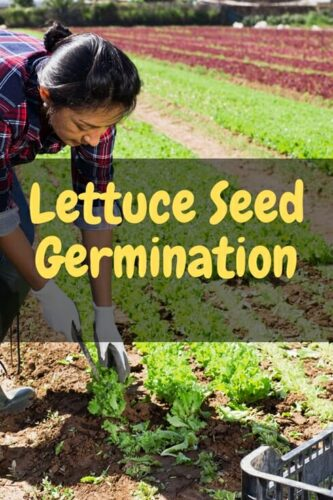 How Long Does It Take Lettuce Seed To Germinate