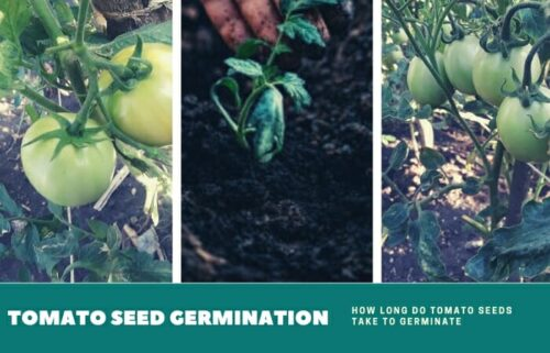 How Long Tomato Seed Takes To Germinate With Starting Cell?