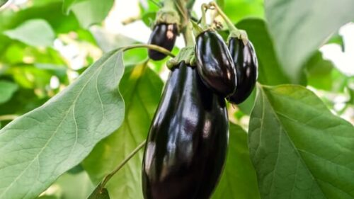 How Long Does Eggplants Seed Take To Germinate In Starting Cells?