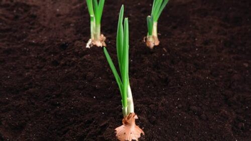 How Long Does it Take To Germinate Onion Seeds?