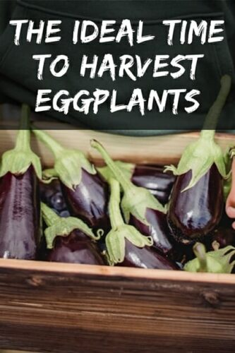 The Ideal Time To Harvest Eggplants